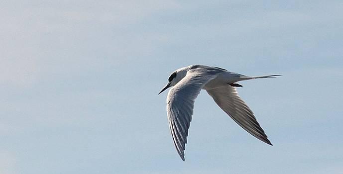 Rosanne Jordan - Tern in Flight