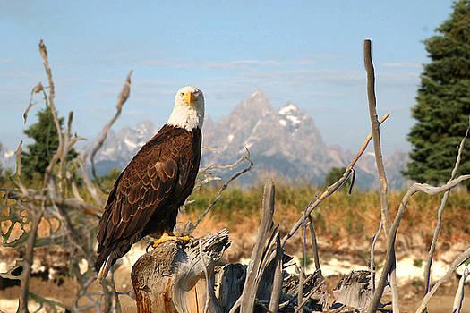 Tetons Bald Eagle by Jim Kuhlmann
