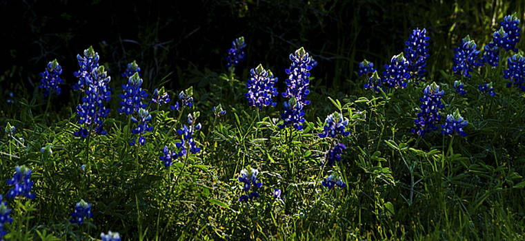 Texas Bluebonnets V by Greg Reed