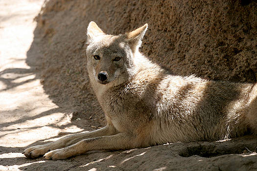 Texas Coyote by Jeannie Burleson