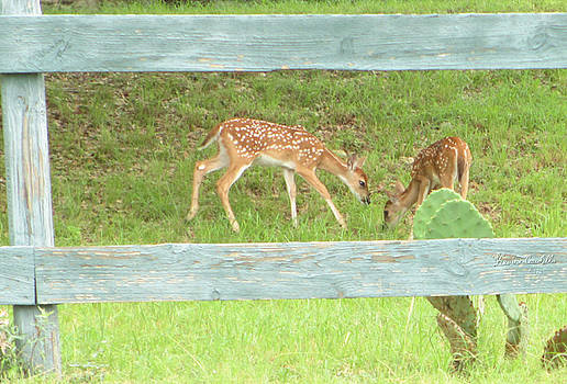 Texas Fawns by Kevin Caudill