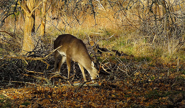 Texas Whitetail Buck by Bill Morgenstern