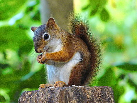 Thanks for Dinner Red Squirrel Ohio by Nancy Spirakus