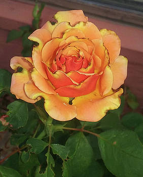Thanksgiving Rose by Jay Milo