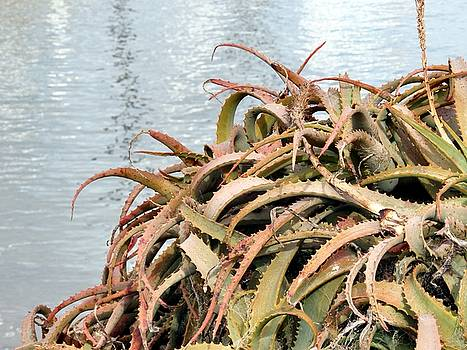 The Aloes Of Monterey by Tonie Cook