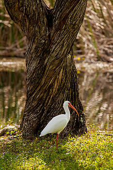 The American White Ibis by Brent L Ander