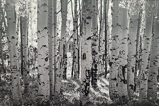 The Aspen Forest in Black and White  by Saija Lehtonen