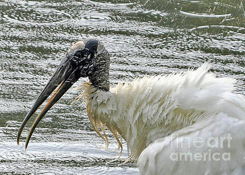 The Bathing Wood Stork 2 by Lydia Holly