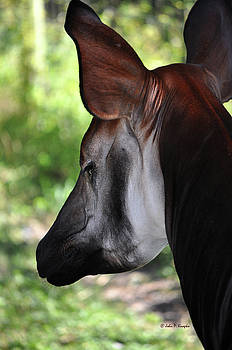 The beautiful Okapi 01 by John Knapko