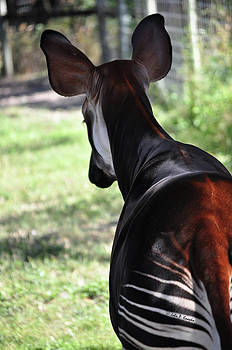 The beautiful Okapi 02 by John Knapko