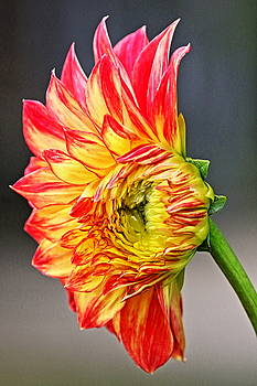 The Birth of a Dahlia by DVP Artography