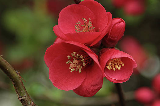 The Blooming Red Quince by Connie Handscomb
