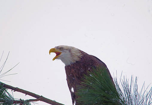 The call of an Eagle by Jeff Swan