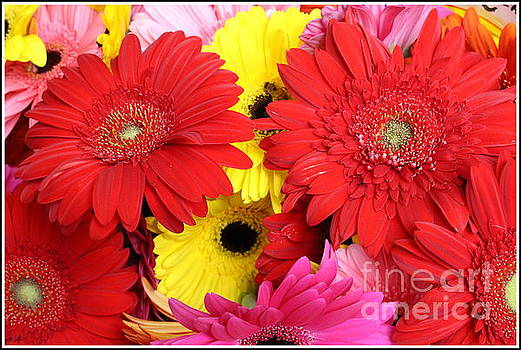 The Colors of Summer - Gerbera Daisies by Dora Sofia Caputo Photographic Art and Design