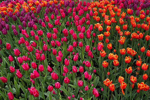 The Colors of Tulips by Roger Mullenhour