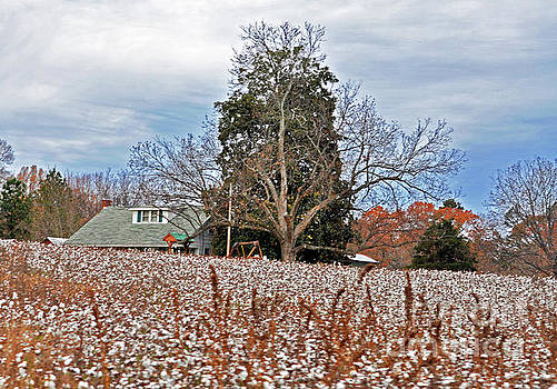 The Cotton Is High by Lydia Holly