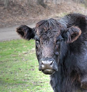 The Cow by Jeffrey Platt
