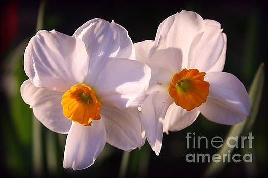 Daffodils - A Symbol of Spring by Dora Sofia Caputo Photographic Art and Design