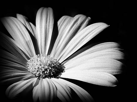 The Daisy by Kerry Hauser