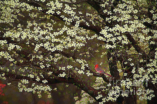 The Dogwoods and the Cardinal by Darren Fisher
