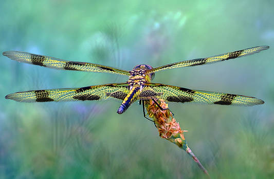 The Dragonfly by Nina Bradica