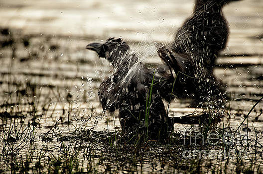 The eastern jungle crow Corvus macrorhynchos levaillantii by Venura Herath