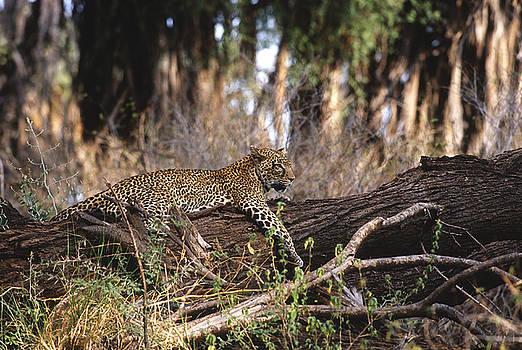 Sandra Bronstein - The Elusive Leopard