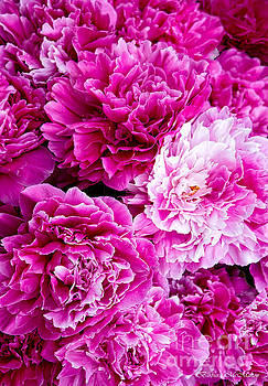 Barbara McMahon - The Fragrance of Pink Peonies
