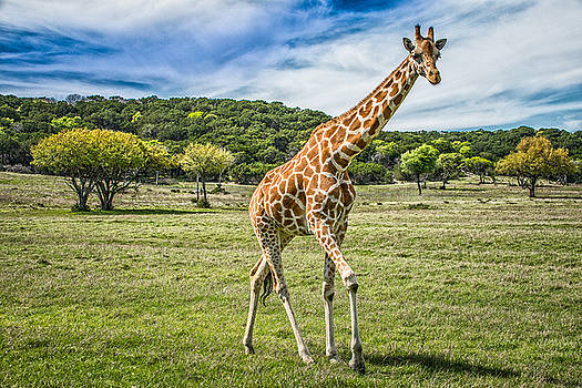 The Giraffe by Janis Knight