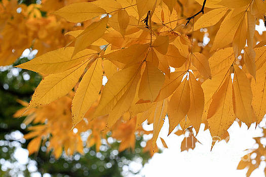 The golden Leaves of Fall by Tracy  Hall