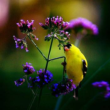 The Good life for a Goldfinch by Charles Shedd