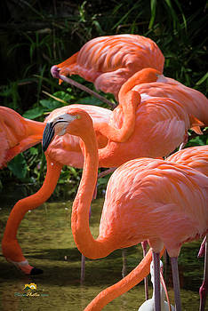 The Greater Flamingo by Jim Thompson