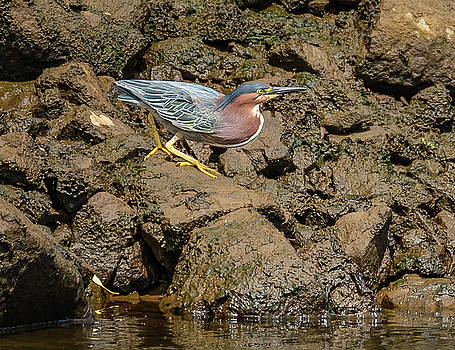 The Green Heron by Jerry Cahill