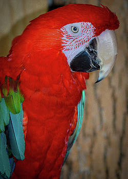 The Green-winged macaw by Kathryn Potempski