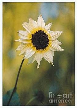 The Imperfect Sunflower by ImagesAsArt Photos And Graphics