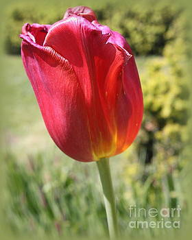 The Last Tulip of Spring by Dora Sofia Caputo Photographic Art and Design