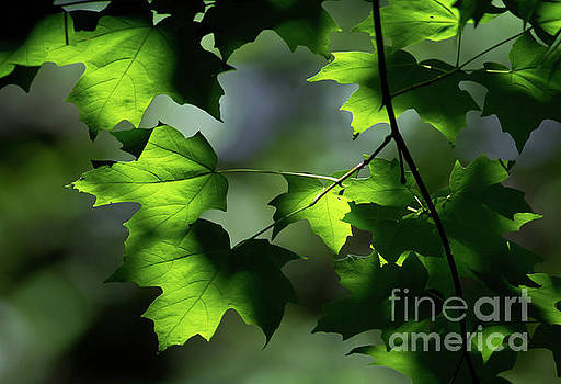 The Leaf by Douglas Stucky