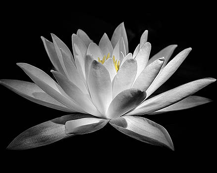 The Lily by Andy Smetzer