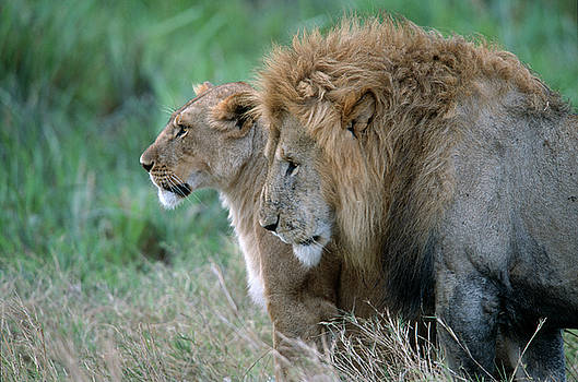 Sandra Bronstein - The Lion And His Lioness
