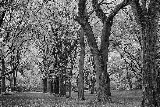 The Mall - Elm Trees Alley Central Park by Zina Zinchik