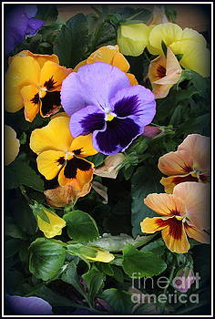 The Pansies of Early Spring by Dora Sofia Caputo Photographic Art and Design