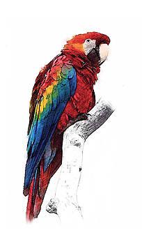 Steve K - The Parrot