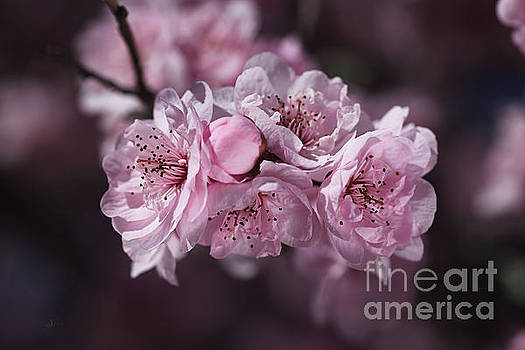 The Pink Blossom of Prunus by Joy Watson