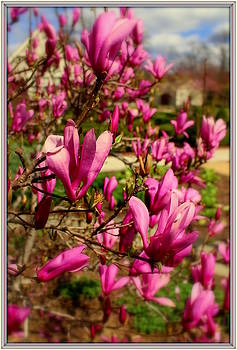 The Pink Tulip Tree by Mindy Newman