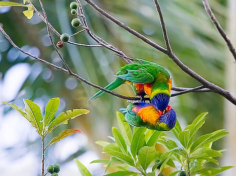 The rarely seen Vampire lorikeet by Mr Bennett Kent