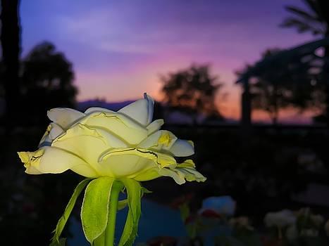 The Rose by Chris Tarpening