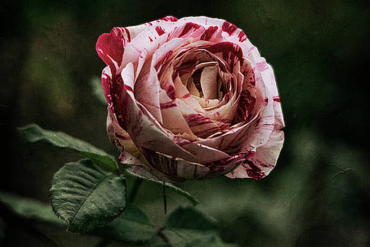 The Rose  by Saija Lehtonen