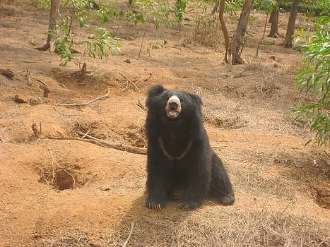 The Sloth Bear by Siddarth Rai