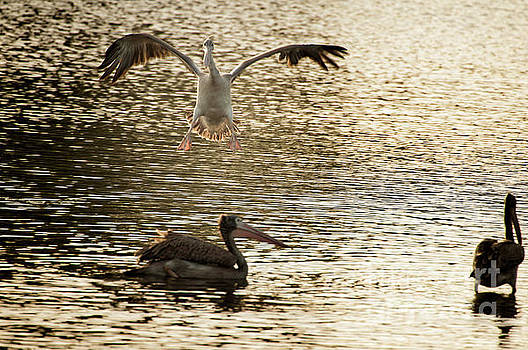 The spot-billed pelican or grey pelican  Pelecanus philippensis  by Venura Herath