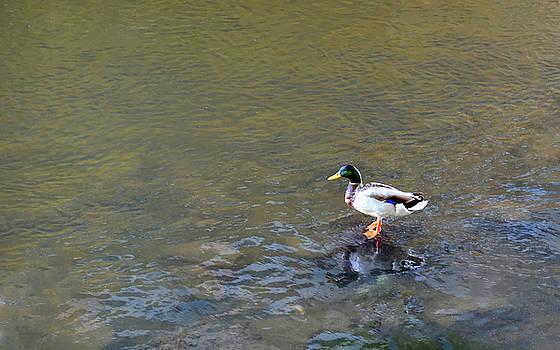 The Standing Duck by Jeffrey Platt